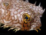 Web Burrfish