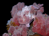 Pink Frogfish Fishing