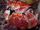 Coral Crab Pair