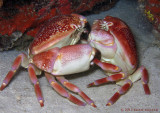 Crab Tango