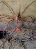 Arrow Crab Pair