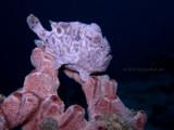 Frogfish Posing