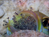 Yellohead Jawfish & Fry