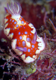Chromodoris clenchi