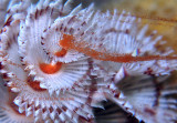 Spawning Christmas Tree Worm