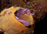 Spawning Tube Sponge
