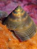Top Snail