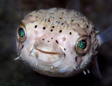Balloonfish Eyes