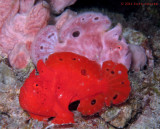2 Male Frogfish