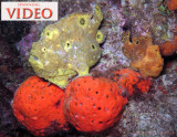 Spawning Frogfish Video