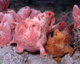 Mating Frogfish