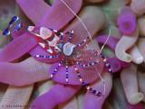 Spotted Cleaner Shrimp