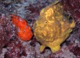 Frogfish Pair