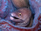 Purplemouth Moray