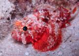 Coral Scorpionfish