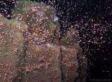 Star Coral Spawning
