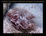 Feather Dusters Spawning Video