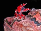 Teardrop Crab