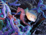 Seahorse &  Damselfish