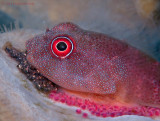 Clingfish with Eggs