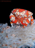 Gaudy Clown Crab with Eggs