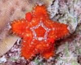 Mini Sea Star Spawning