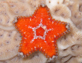 Mini Sea Star