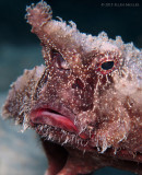Shortnose Batfish