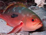 Brotula & Creolefish