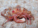 Candy Striped Hermit Crab, Pylopaguropsis mollymullerae