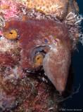 Octopus filosus