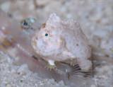 Dwarf Frogfish