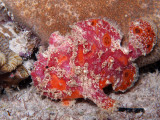 Multicolored Frogfish