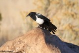 Jays, Magpies and Crows