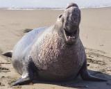 Elepahant Seals