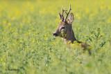 Srne/Deer