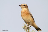 Repaljscica/Whinchat