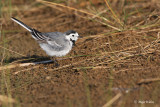 Bela pastirica/White wagtail