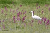 Great white egret/Velika bela caplja