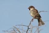 Travniski vrabec/Spanish sparrow