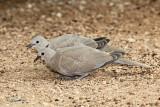 Golobi/Doves