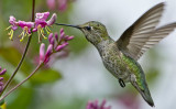 Female Anna's Hummer and Pink Honeysuckle