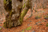 Beech Forest of La Pedrosa (Segovia - Spain)