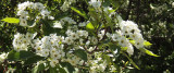 Crataegus douglasii, Black Hawthorn