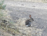 Cottontails are Everywhere this Year