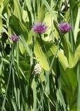 Allium (and Veratrum and Bistorta)