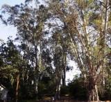 Eucalyptus Tower over an Oak