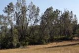 Gray Pines