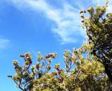 Limber Pine Cones Held Aloft