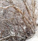 Cottonwood on Garden Creek